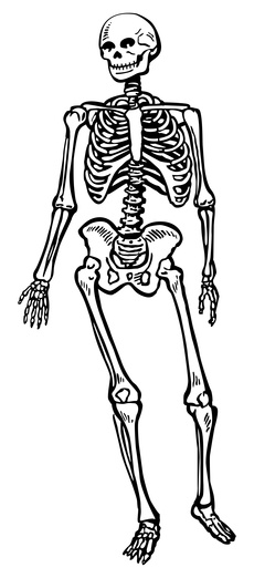 Skeletal System Unlabeled