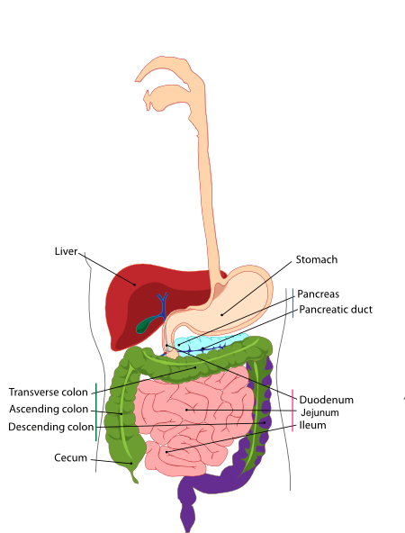 small intestine images - www. - ClipArt Best - ClipArt Best